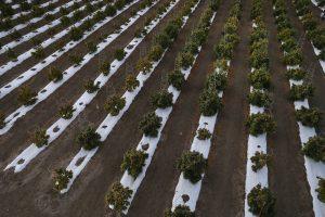 Hemp farmers mulling a move into marijuana must know different rules