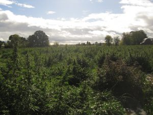 Hemp processing crunch, Why harvesting and processing may be expensive lessons for this year's new hemp farmers