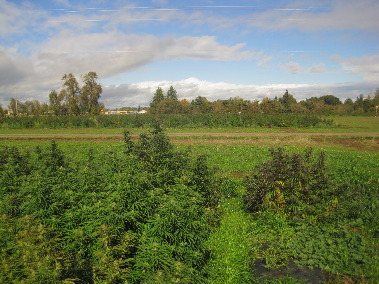 Flower power: Canada's new hemp rules boost CBD production, but