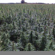 Hemp Cultivation, Processing & Extraction | Hemp & CBD News
