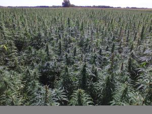 , USDA approves hemp production plans for Minnesota, Puerto Rico, Tennessee