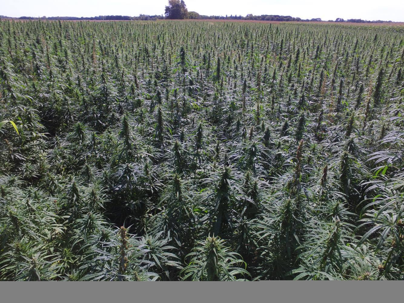 Hemp acreage jumps 500% in 2019, a sign of legalization's impact