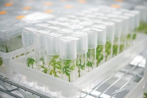 Hemp cultivators turn to tissue culture to preserve plant