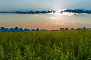 Oregon hemp production lawsuits may offer lessons for farmers