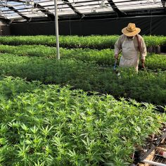 hemp cultivation tips, Do's & don'ts of hemp cultivation