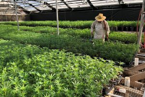 Post-Farm Bill hemp cultivation do's & don'ts