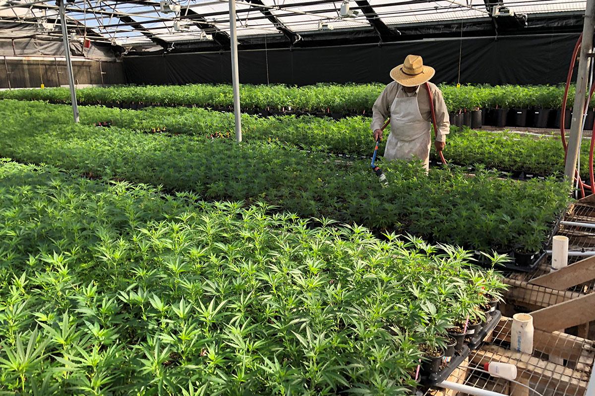 Oregon Hemp Seed For Sale