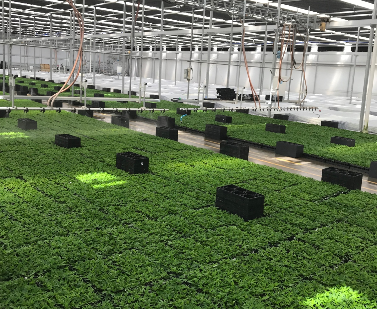 Top ornamental greenhouse operation ColorPoint making