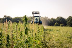 , As hemp harvest nears, US farmers face uncertainty about regulations