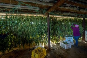 hemp storage strategies, Hemp farmers searching for flower-storage solutions