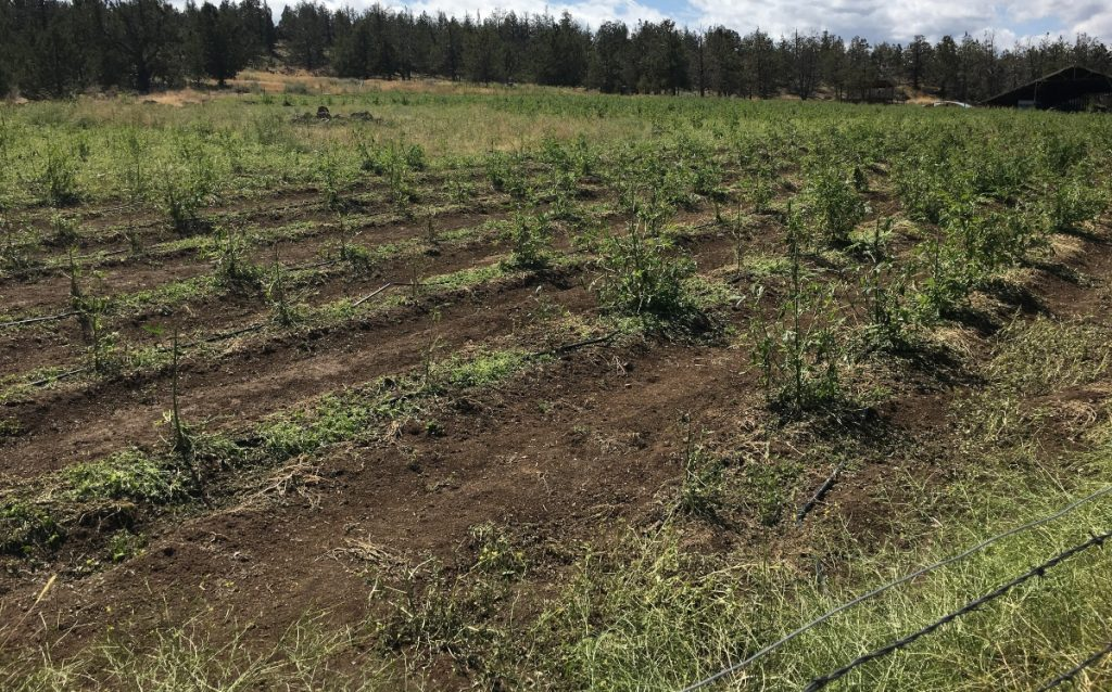 Damaging hailstorm hits Oregon hemp farms, causes potentially millions in losses