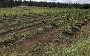 hemp hail damage, Damaging hailstorm hits Oregon hemp farms, causes potentially millions in losses