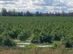 Oregon hail update, Oregon hailstorm update: Hemp crops recovering but may not have time to flower