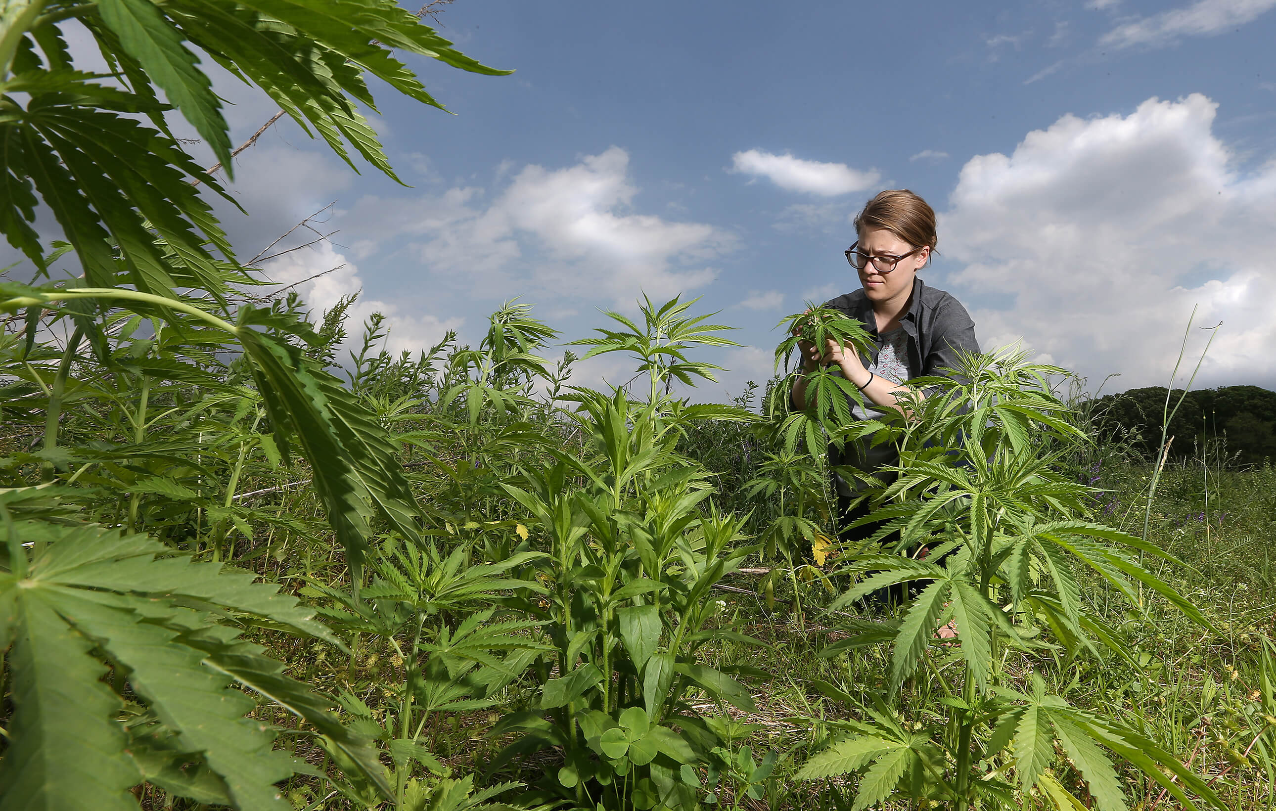 photo of Farmers can now apply for hemp production licenses through USDA image