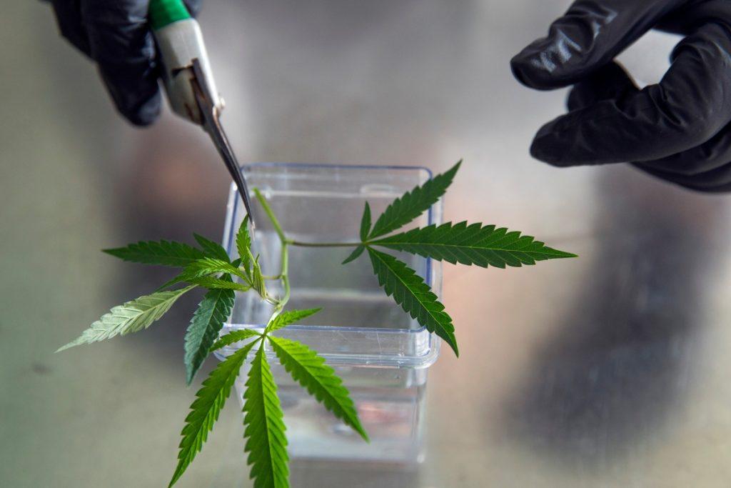 high-CBD hemp varieties mostly marijuana, Study: Most high-CBD hemp plants are 90% marijuana, genetically