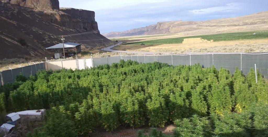 Cross-pollination drives growing disputes between marijuana, hemp farmers