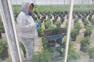 USDA rules, USDA lawyer: Hemp growers have 'a little bit of leeway' on THC testing, but not much