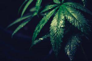 EPA pesticides, EPA approves 10 pesticides for hemp production