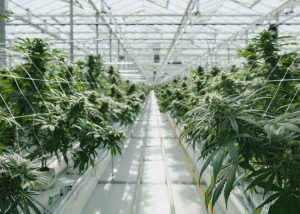 hemp cultivation myths, 6 common cannabis cultivation techniques that are more myth than fact