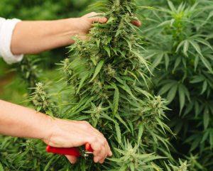California hemp lawsuit