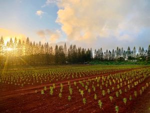 , Hawaii's agricultural economy has high hopes for hemp after sugar cane, pineapple pull out