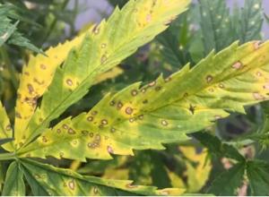 hemp diseases, 5 tips on protecting your hemp crops from diseases