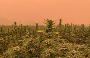 hemp wildfire, Wildfires destroying hemp crops in California, Oregon