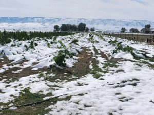 , Early freeze in Colorado could cost hemp growers 'catastrophic' losses