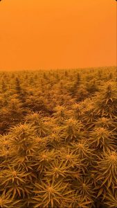 , Are your hemp crops safe? FSOil conducts study following the 2020 Oregon Wildfires