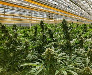hemp cultivars Canada, Health Canada approves US hemp varieties for commercial production