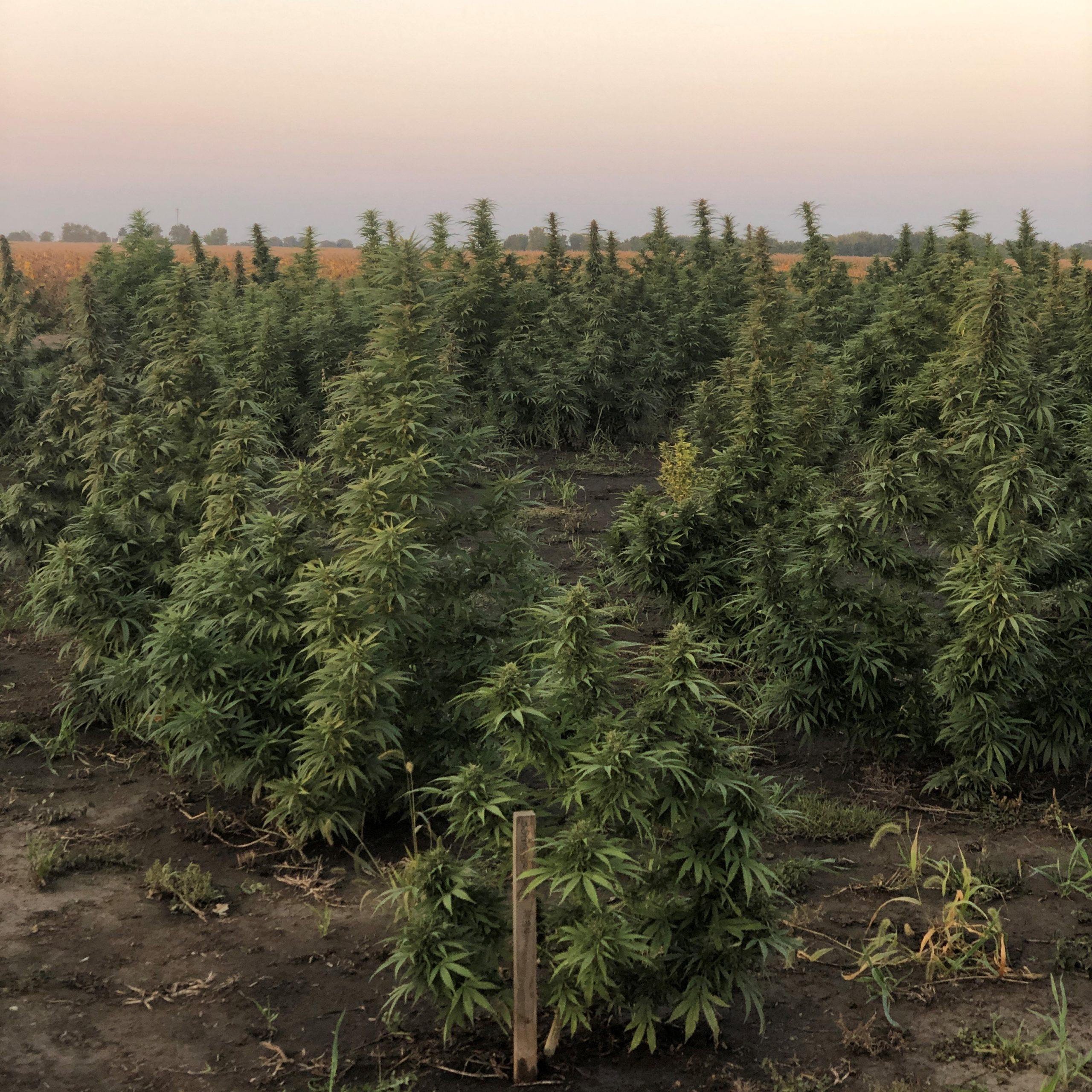 photo of USDA wants new hemp production data from farmers image