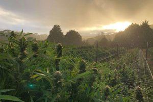Humboldt bans hemp, Legendary California marijuana-growing region Humboldt permanently bans hemp cultivation