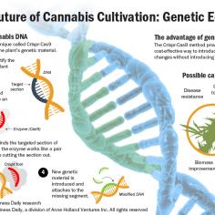 Illustration explaining how gene editing will be used to change the hemp and marijuana plant.