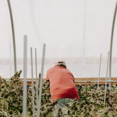 hemp labor