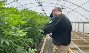 hemp crop scouting, How hemp growers can employ crop scouting for pests, diseases