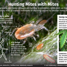 A graphic showing how some cannabis cultivators are using western predatory mites to control the plant damaging hemp russet mite.